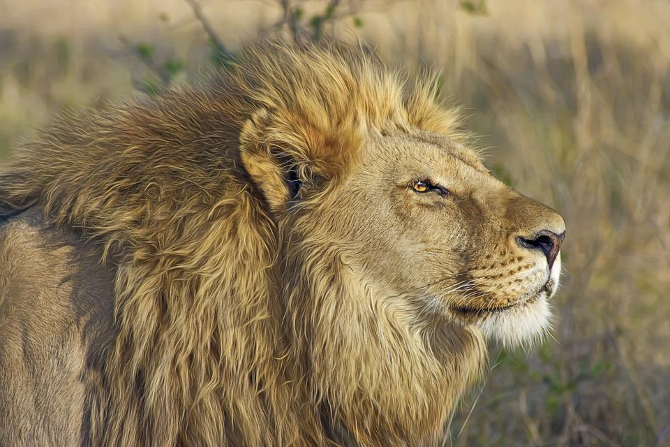 lion-515028_960_720
