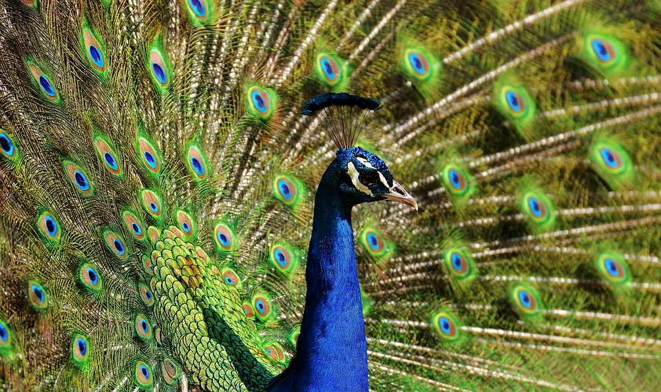 peacock-2479717_960_720