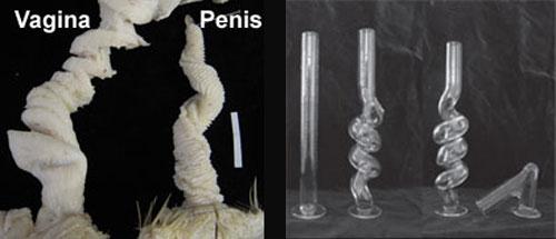 Duck_genitals_tubes