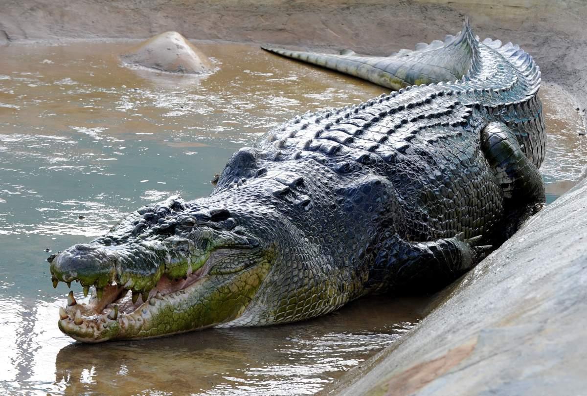 Crocodile lolong