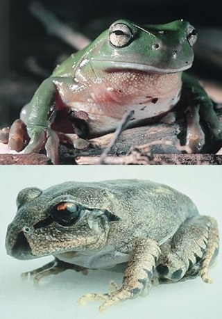 frogs-chytrid-infection-nl