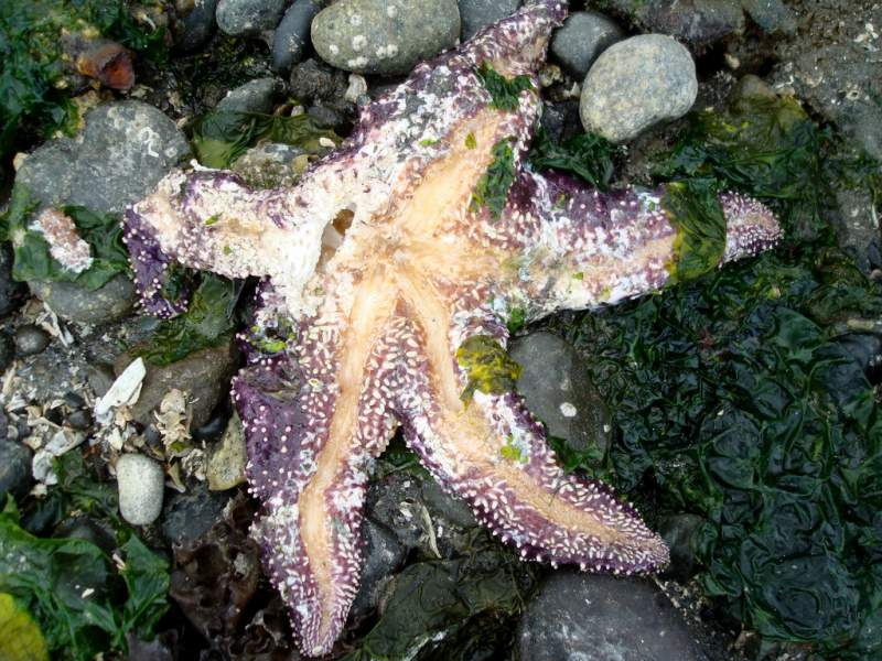 Sea-star-wasting-disease.-Photo-credit1