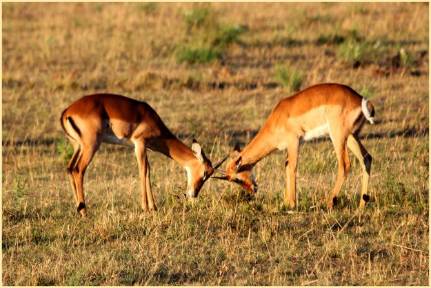 Antelope fight