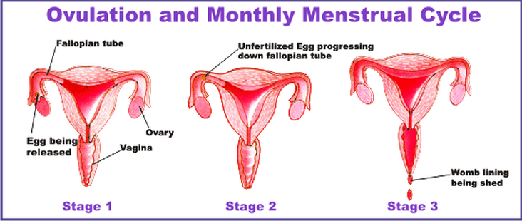 Menstruation process