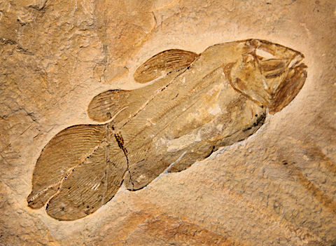 Coelecanth fossil.jpg