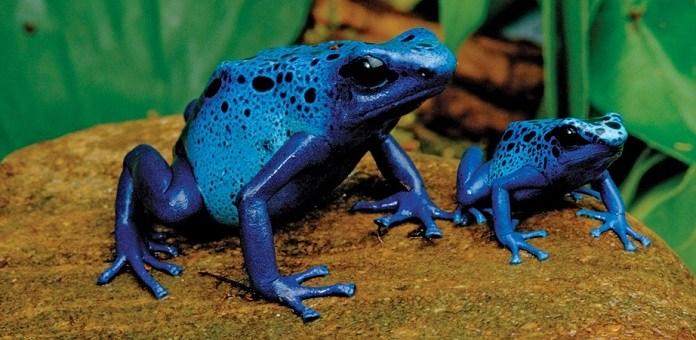 Amazon blue frog