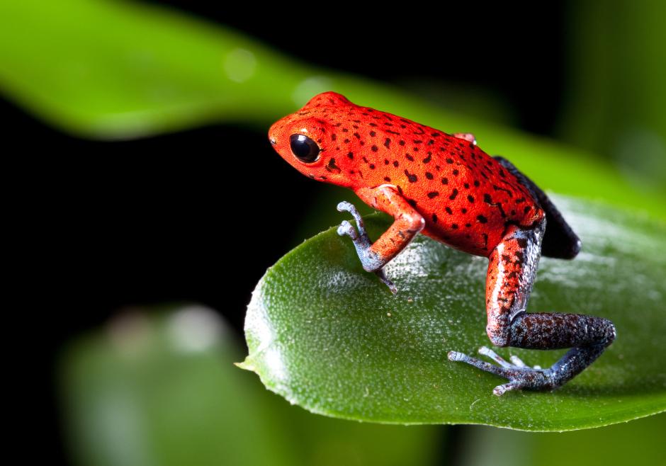 Amazon red frog