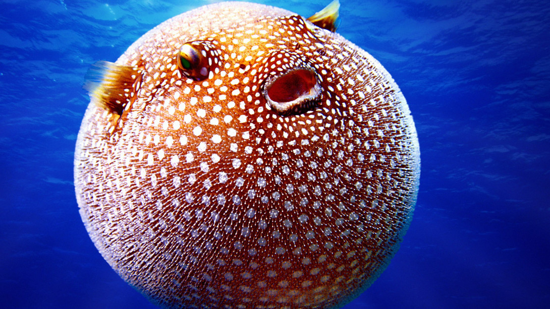 Puffer fish 2