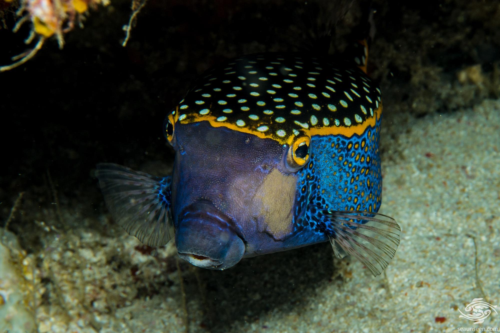 Puffer fish 3