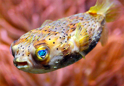 Puffer fish 6