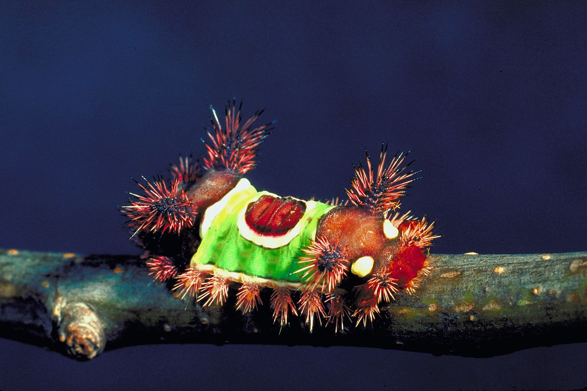 Saddleback caterpillar.jpg