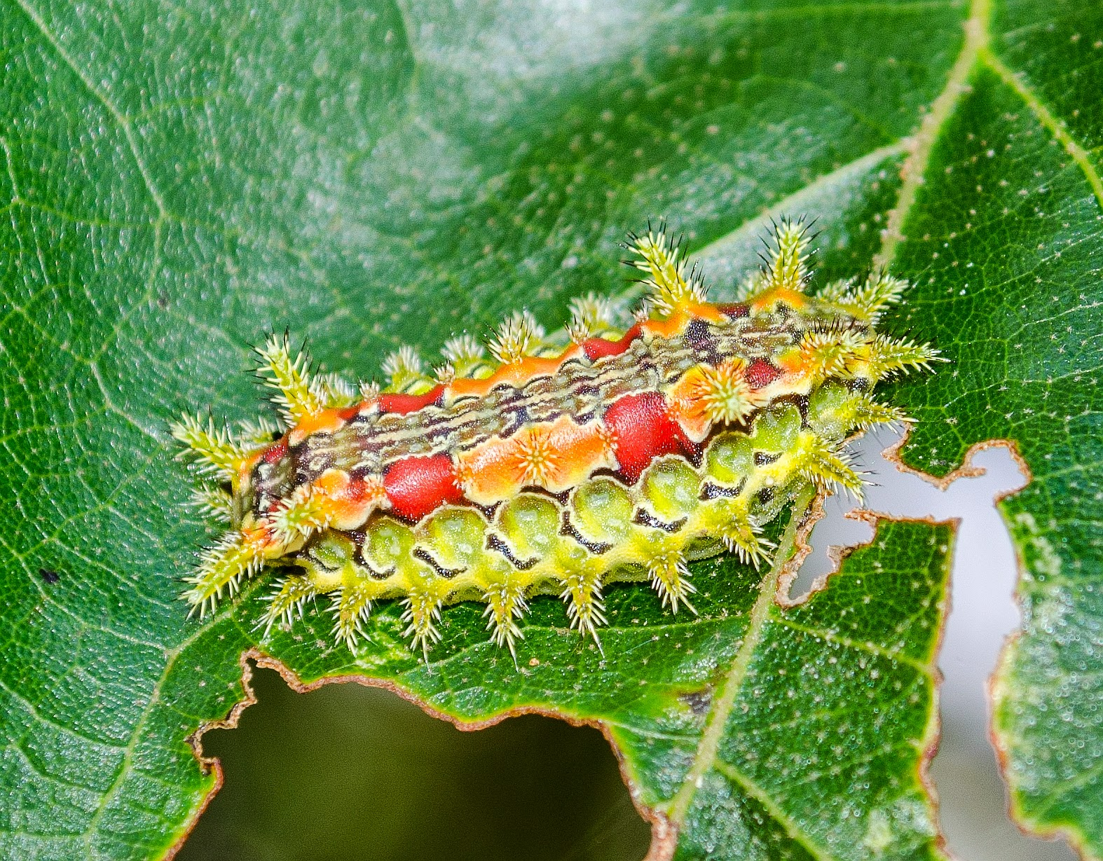 Spiny Oak Slug Caterpillar