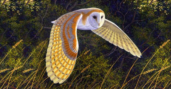 Barn Owl Celadonia 2