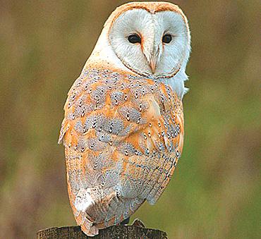 Barn Owl India 2