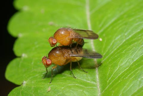 Fruit fly 1
