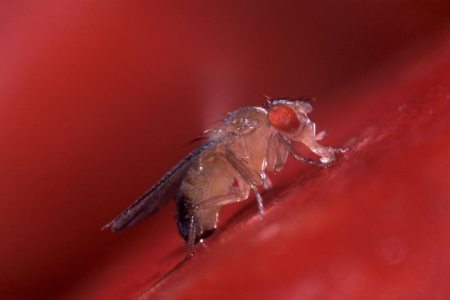 Fruit fly 2