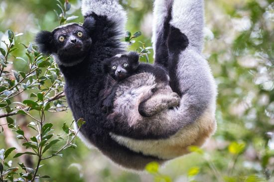 Indri 3