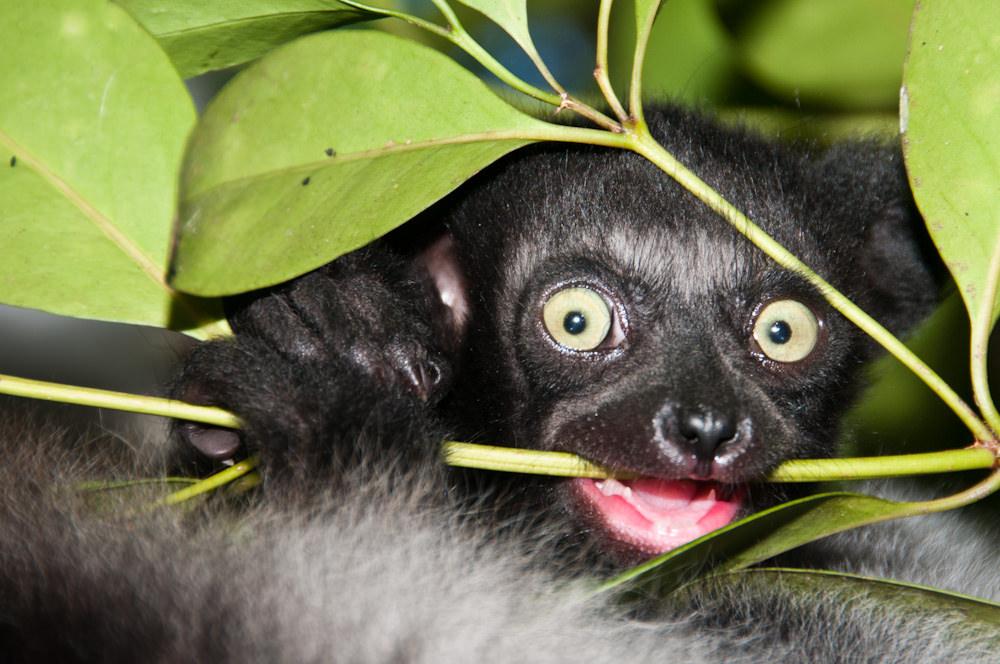 Indri 4