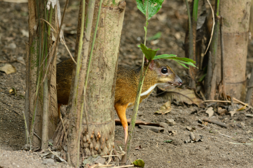 male Lesser Mouse-deer