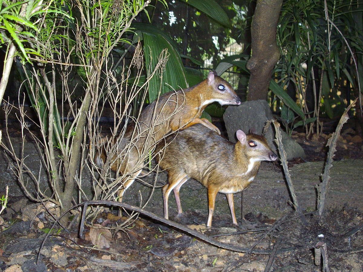 Mouse deer 4