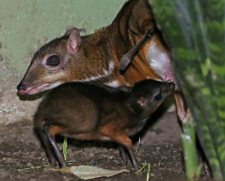 Mouse Deer 5