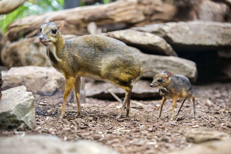 Mouse Deer 6
