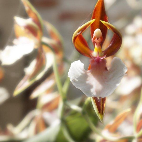 Ballerina orchid