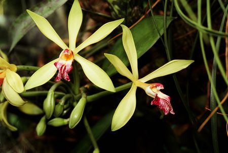 Vanilla bean orchid pods