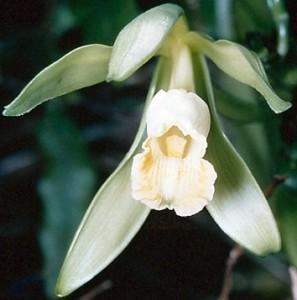 Vanilla bean orchid flower