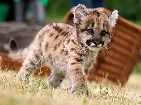 Puma 1