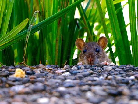 Rat 3