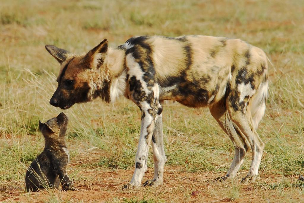 Wild dog 3
