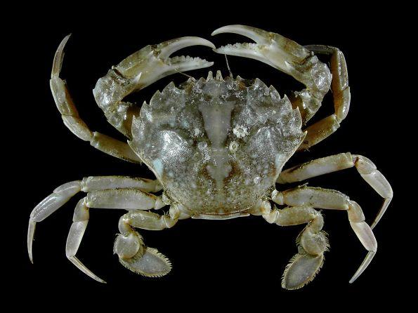 True crab - 4 sets of limbs & shallow abdomen