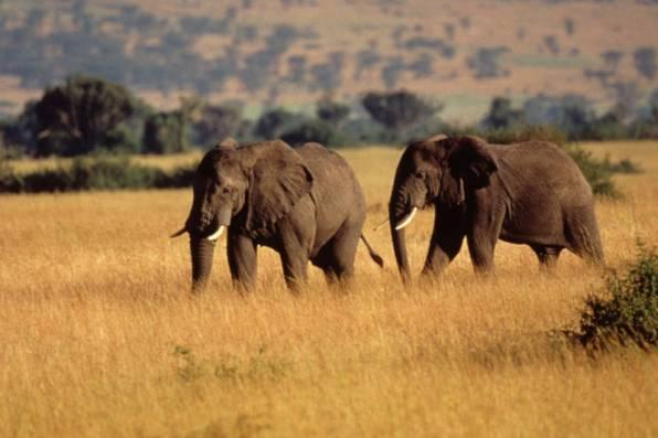 Adult elephants