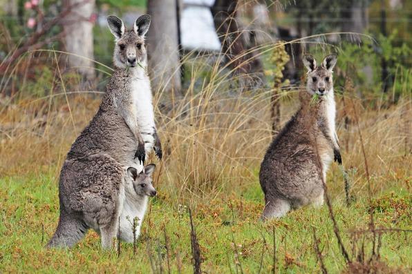 An adult female kangaroo
