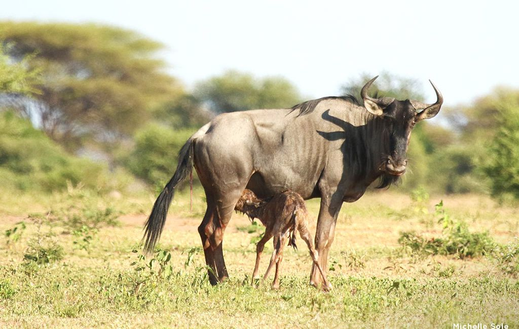 wildebeest-birth-marataba-7-1024x650