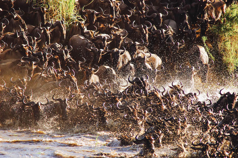 Wildebeest-Crossing-mara-river-Serengeti-lodge