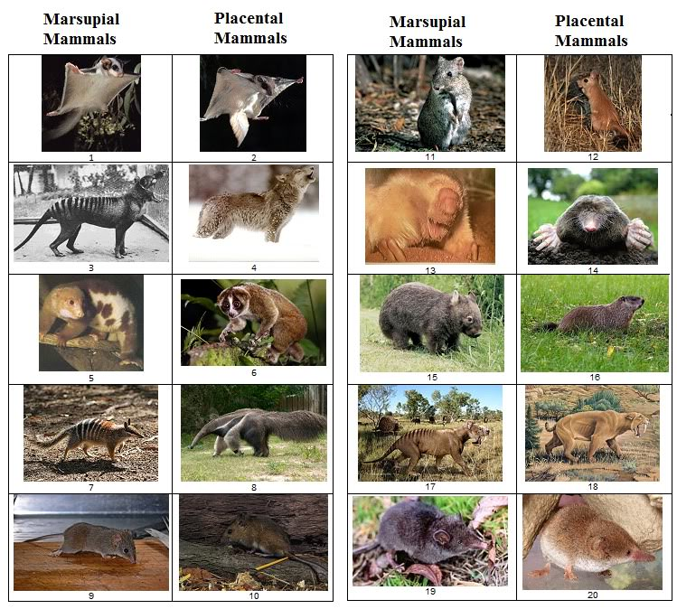 Placenta vs marsupial