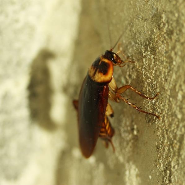 Cockroach lf-bug-834021_1280