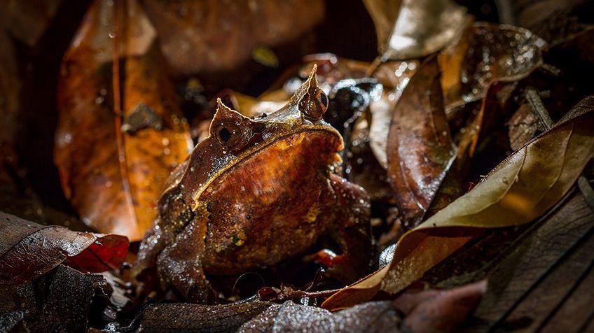 maylayan-horned-frog-compressor