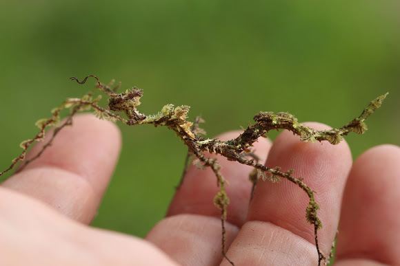 Moss mimic insect