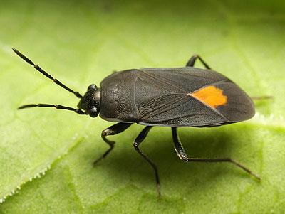 Beetle aphanus_rolandri