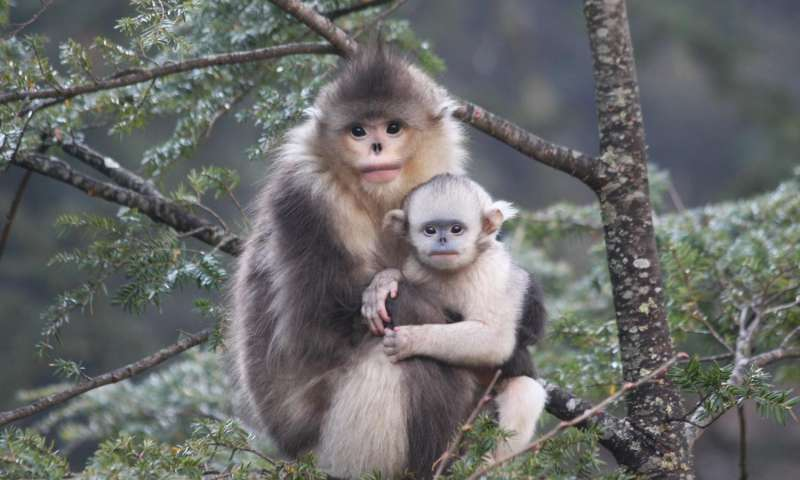black Snub nosed monkey