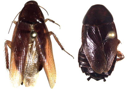 Cockroach xestoblatta-berenbaumae-male-female