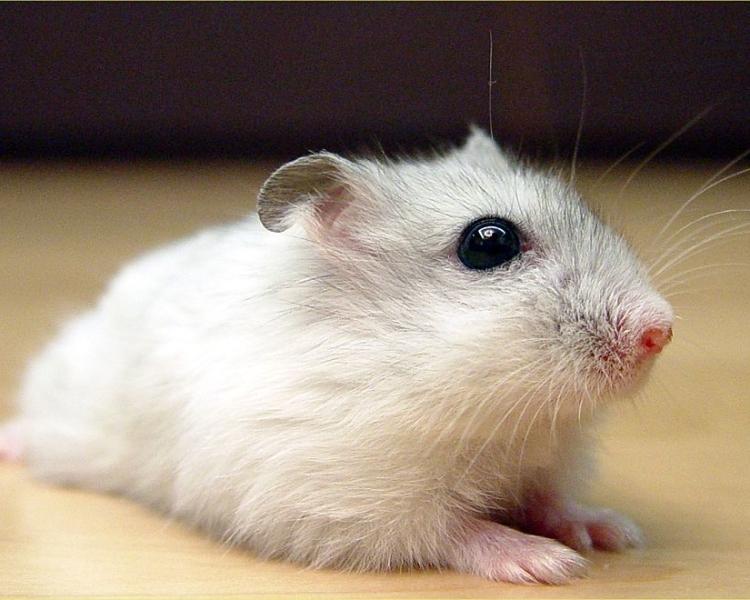 Djungarian hamster