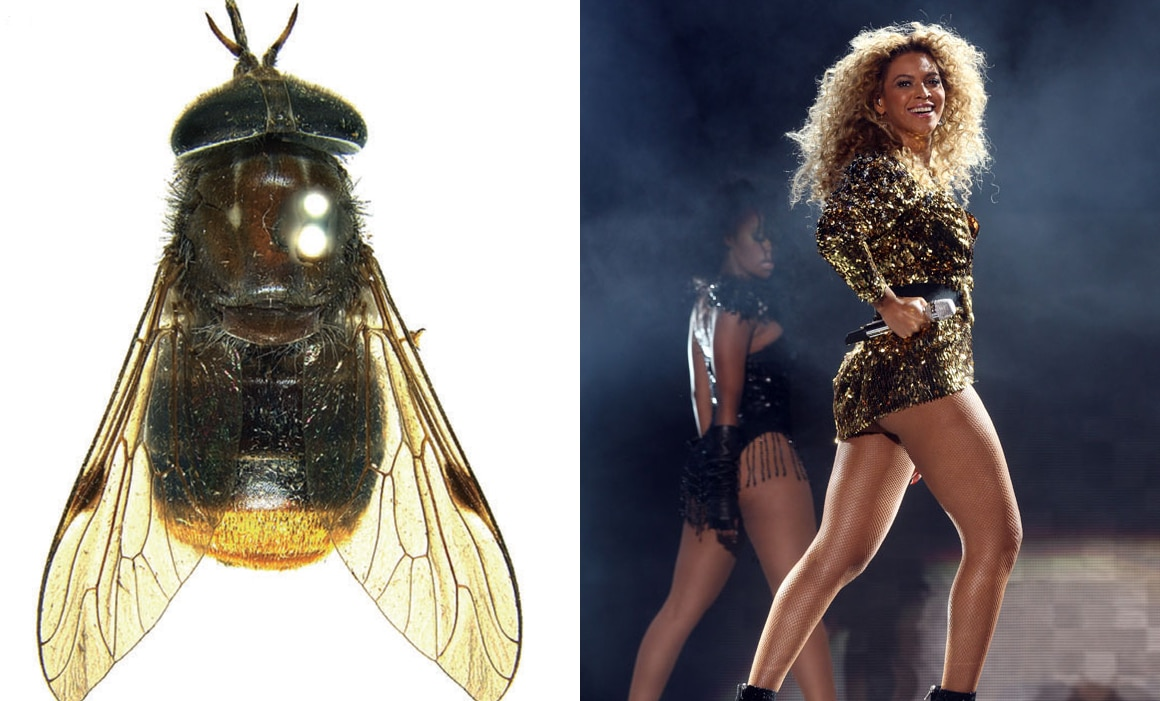 Fly Scaptia-beyonceae